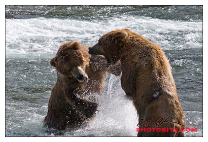 Brown Bear Disagreement