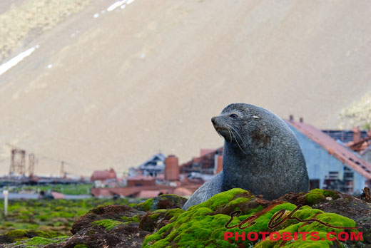Fur Seal at Stromness Ruins