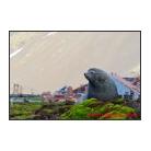 Fur Seal at Stromness Ruins