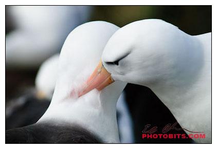 Nesting Black-browed Albatross